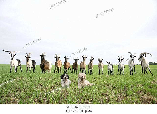 Portrait of goats and dogs in rural field