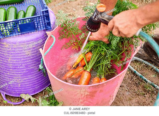 Cropped view of man rinsing freshly harvested carrots in trug