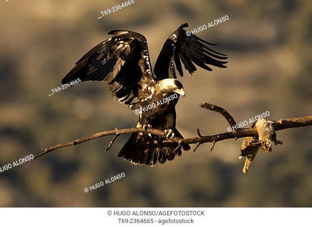 Spanish imperial eagle, Iberian imperial eagle or Adalbert's eagle Aquila adalberti