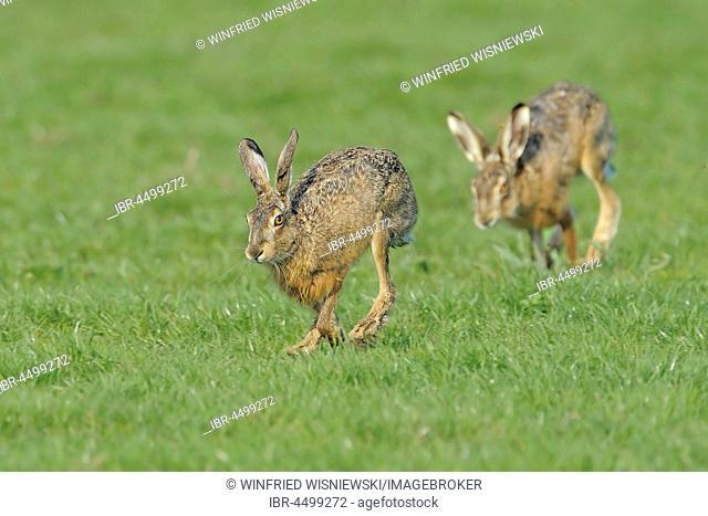 European hare (Lepus europaeus), doe and buck, Texel Island, The Netherlands