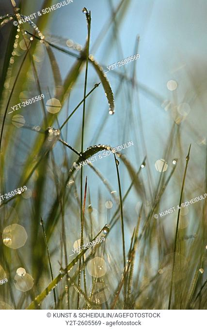 Dew drops are glittering on grasses in the morning sun