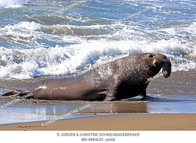 Northern Elephant Seal (Mirounga angustirostris), adult male on the beach, Piedras Blancas Rookery, San Simeon, San Luis Obispo County, California, USA