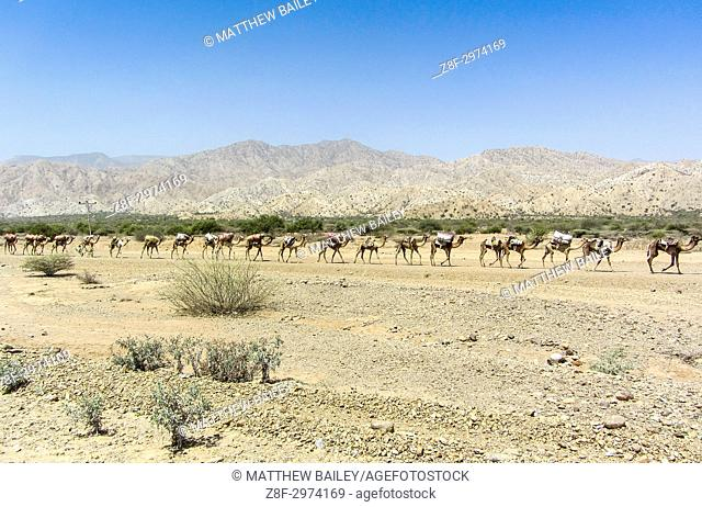 A Camel Caravran crosses the hot desert of the Danakil Depression