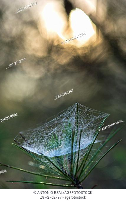 Spider web on pine tree (Pinus halepensis). Almansa, Albacete province, Castilla-La Mancha, Spain