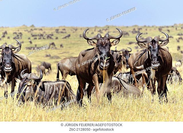 Wildebeests, Connochaetes Taurinus, while migration, Masai Mara, Kenya