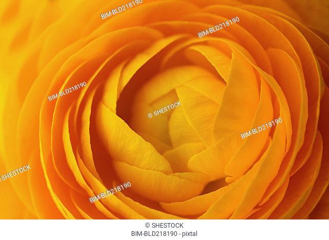 Close up of orange flower petals