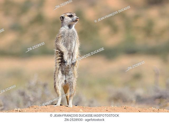 Meerkat (Suricata suricatta), adult male upstanding, attentive, at the burrow entrance, Kgalagadi Transfrontier Park, Northern Cape, South Africa, Africa