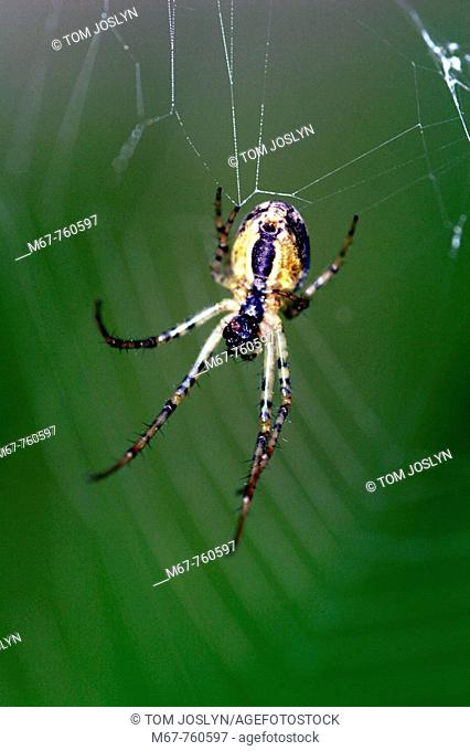 Garden spider in web close up. England UK