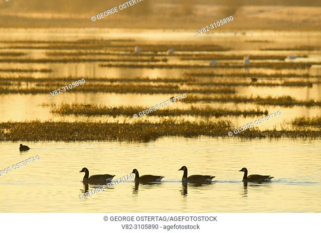 Canada geese at sunrise at Eagle Marsh, Ankeny National Wildlife Refuge, Oregon