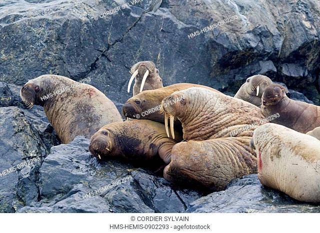 Norway, Svalbard, Spitsbergern, Walrus (Odobenus rosmarus) colony resting in rock