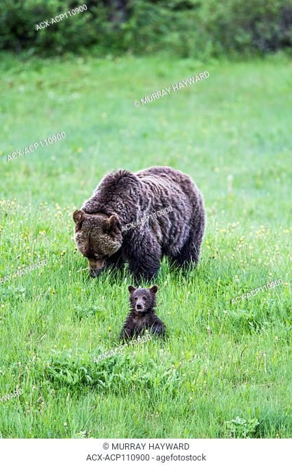 Grizzly Bear Mother and Cub (Ursus arctos horribilis) Mother and cub, wet from the damp grass, feeding in a moutain meadow