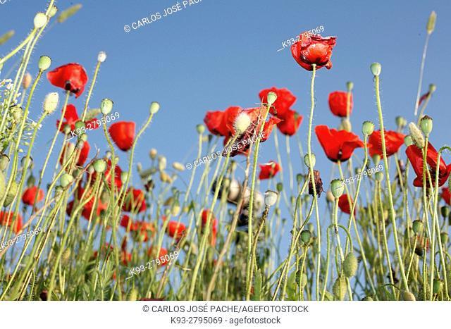 Poppy field (Papaver rhoeas), Spain