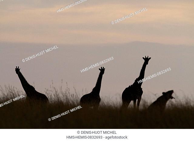 Kenya, Masai Mara National Reserve, Girafe masai (Giraffa camelopardalis), looking at a lioness at sunset