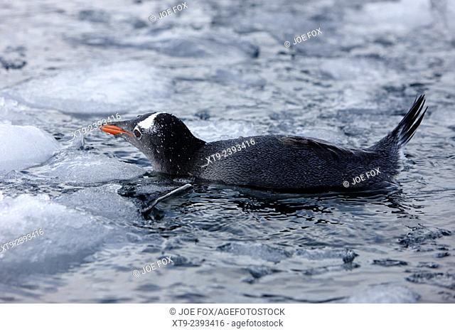 gentoo penguin swimming through brash ice on port lockroy antarctica