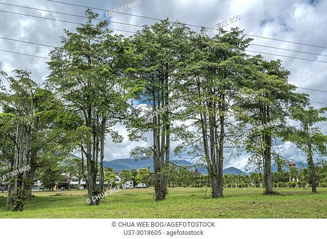 Trees at Tebedu, Sarawak, Malaysia