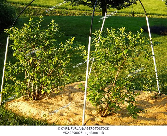 Saw dust mulch controls weed growth in blue berries, provides needed acid for the bushes, and composts into the soil