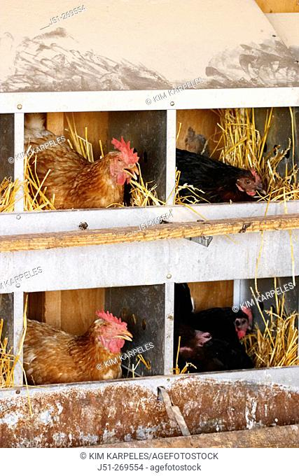 Free range chickens at organic farm, hens in nesting boxes. Grayslake, Illinois. USA