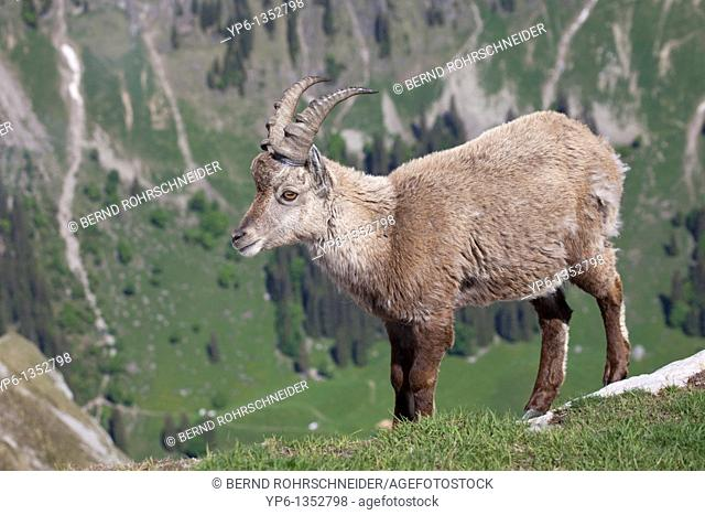 Alpine Ibex Capra ibex standing on meadow in alpine landscape, Niederhorn, Bernese Oberland, Switzerland
