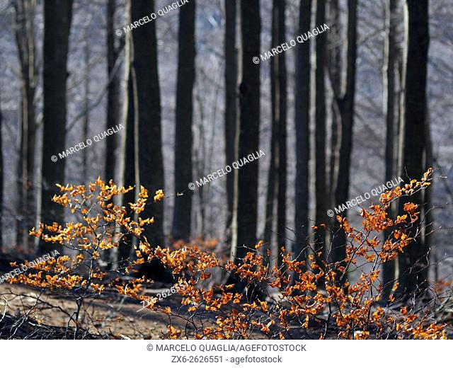 Winter Beech forest (Fagus sylvatica) at Pla del Rovirol site. Montseny Natural Park. Barcelona province, Catalonia, Spain