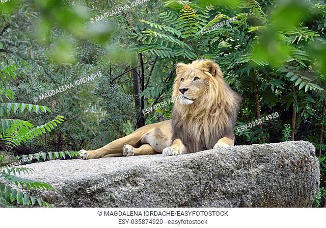 Wild african lion in forest