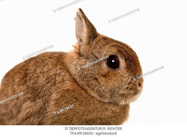 dwarf lop-eared bunny