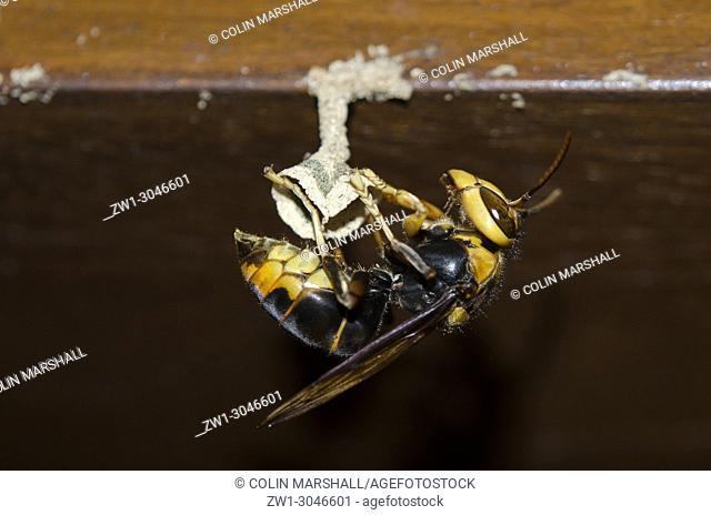 Queen Wasp (Hymenoptera order, Vespidae family, Vespa velutina) building nest, Hymenoptera order, Apocrita suborder, Vespidae family), Klungkung, Bali