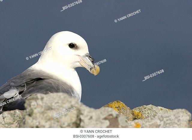 Northern fulmar Northern fulmar Fulmarus glacialis, Shetland Islands, Scotland. Fulmarus glacialis  Northern fulmar  Fulmar  Procellariid  Seabird  Bird