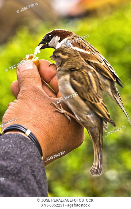Two birds eating bread on the hand of a man, House sparrow, Passer domesticus, bird of the sparrow family Passeridae. Paris, France