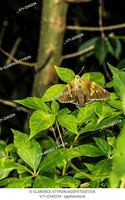 Silver-spotted Skipper Butterfly (Epargyreus clarus) on Virginia Creeper (Parthenocissus quinquefolia) Leaf