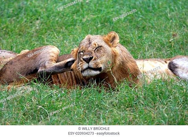 Löwen im Lake Nakuru Nationalpark
