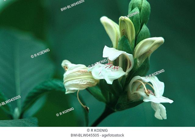 Medicinal plant adulsa Stock Photos and Images | age fotostock