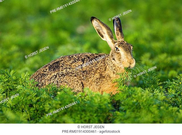 European hare, Hare, Lepus europaeus
