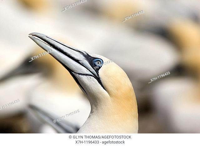 Gannet on Bass Rock - Morus bassanus