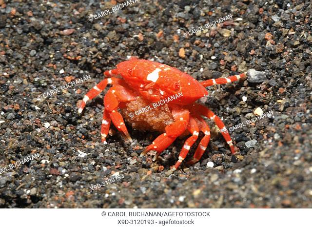 Red Round Crab, also known as Red Stone Crab, Neoliomera insularis. Female with Eggs. Tulamben, Bali, Indonesia. Bali Sea, Indian Ocean