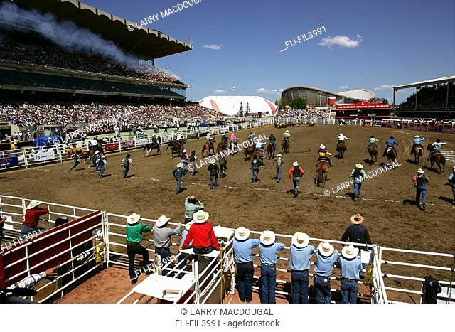 The scramble at the beginning of the Wild Cow Milking, Calgary Stampede, Calgary, Alberta