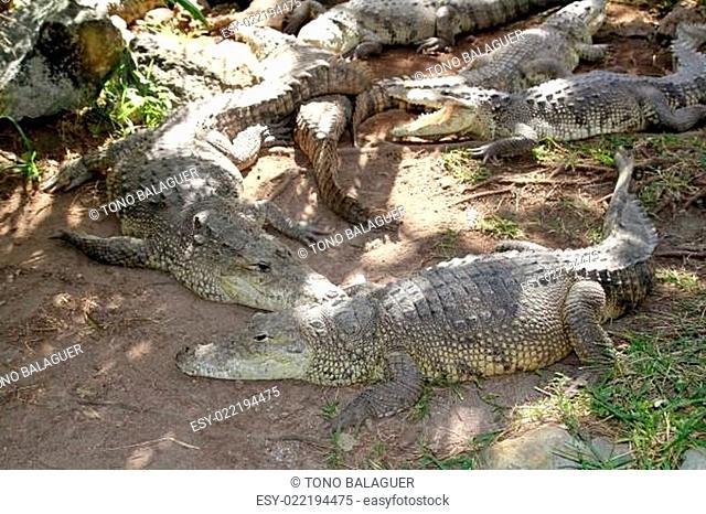 Crocodiles having a sun bath in South America