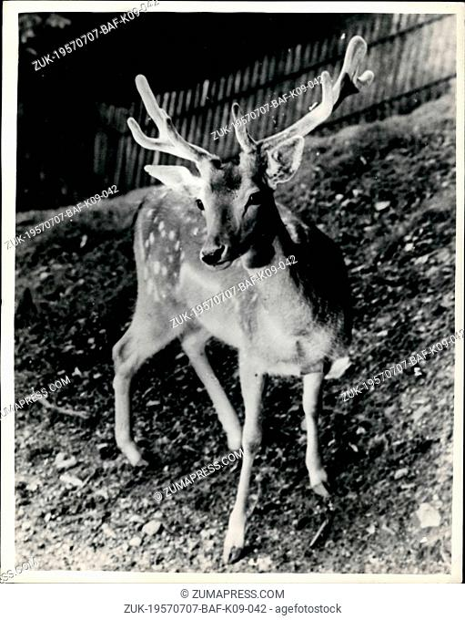 Jul. 07, 1957 - Prince Charles to be given a stag.: A two-year old stag. Goldie, is to be given to Prince Charles by the people of the Swiss town of Rapperswill...