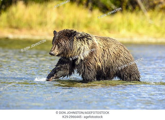 Grizzly bear (Ursus arctos)- Yearling cubs wading shallows of the Chilko River, watching for spawning sockeye salmon. Chilcotin Wilderness, British Columbia BC