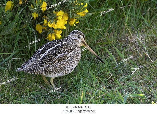 Magellanic snipe Gallinago paraguaiae magellanica on Carcass Island, Falkland Islands