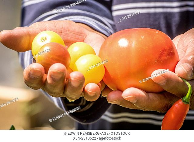 Small tomatoes and a pepper are presented in an urban vegetable garden in Baltimore city, Maryland