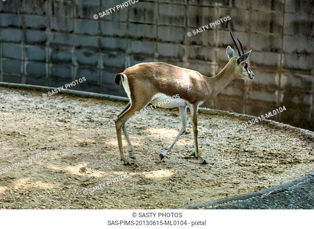 Gazelle in a zoo, Barcelona Zoo, Barcelona, Catalonia, Spain