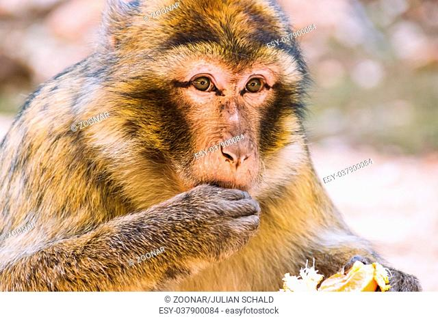 Barbary macaque monkey eating a tangerine, Ifrane, Morocco