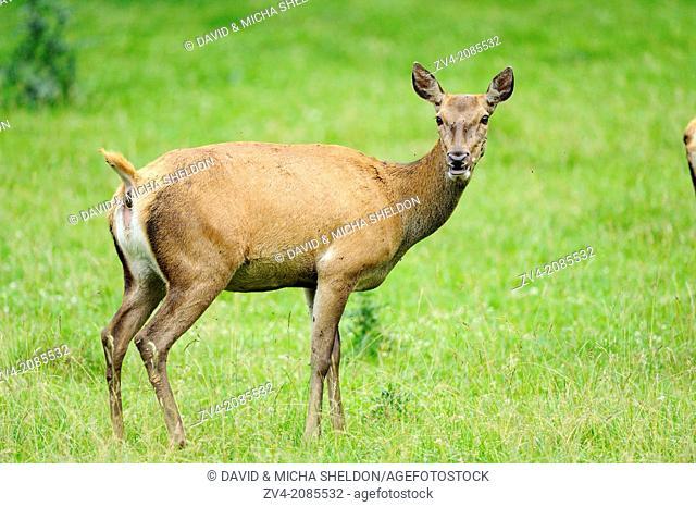 Close-up of a red deer (Cervus elaphus) standing on a meadow, Bavaria, Germany