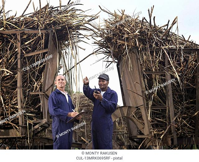 Workers With Harvested Sugar Cane