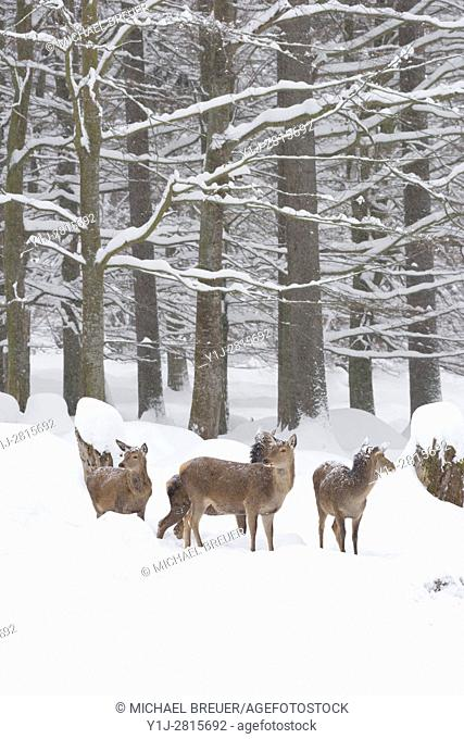 Red deers in Winter, Cervus elaphus, Female, Bavaria, Germany, Europe