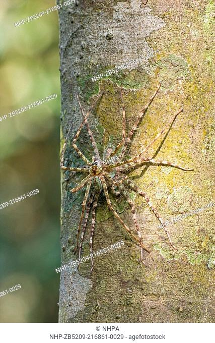 A mating pair of lichen huntsman spiders, Selangor, Malaysia