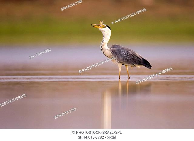 Grey heron (Ardea cinerea) standing in water. This large bird hunts in lakes, rivers and marshes, catching fish or small animals with a darting strike of its...