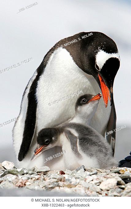 Gentoo penguin Pygoscelis papua parent with two downy chicks on Pleneau Island, near the Antarctic Peninsula