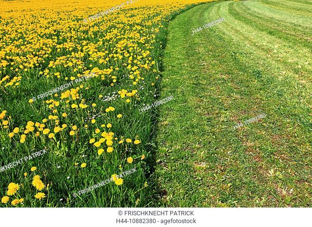 Flowers, flower field, flower meadow, blossom, flourish, smell, field, spring, feed, half half, hay, half, agriculture, dandelion, pattern, sample, nature, cut