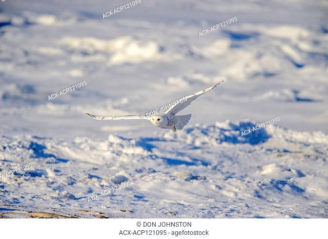 Snowy owl (Bubo scandiacus) Female hunting rodents along Hudson Bay coast